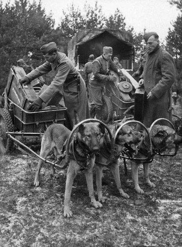 wozy niemieckie z psami 1943.jpg
